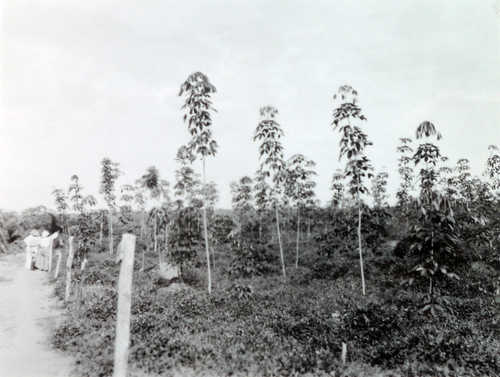 Tree Plantation, Yangambi - State Archives